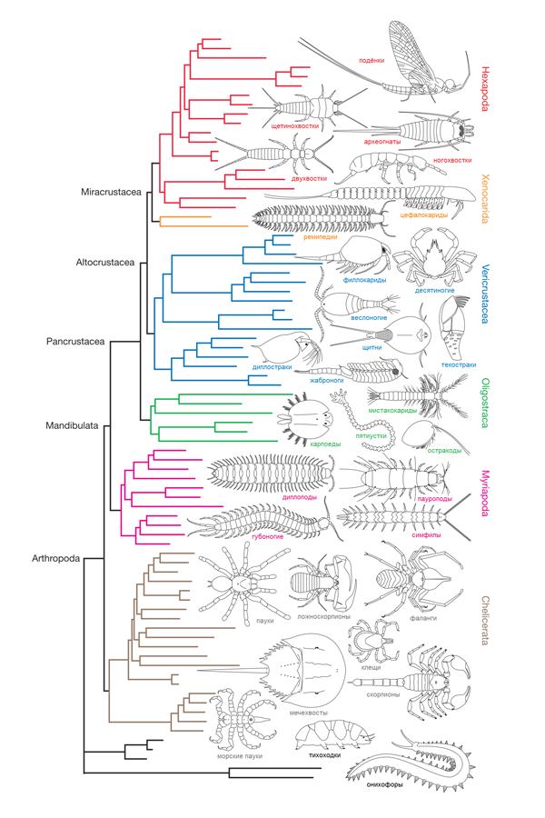 Эволюционное древо членистоногих