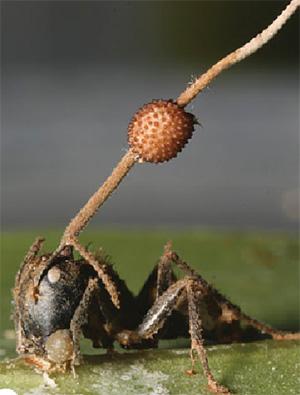 Рис. 1. Гриб Ophiocordyceps, прорастающий из головы зомбированного муравья-древоточца Camponotus