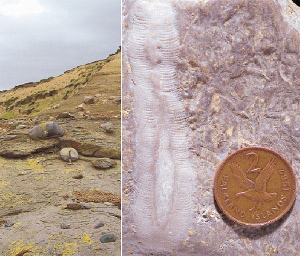 Рис.1. Эрратические валуны тиллитовой формации Фицрой (слева) на острове Западный Фолкленд и выветрелые скелеты археоциат на поверхности такого валуна (справа)