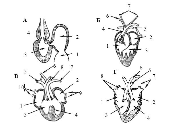 Эволюция сердца позвоночных.