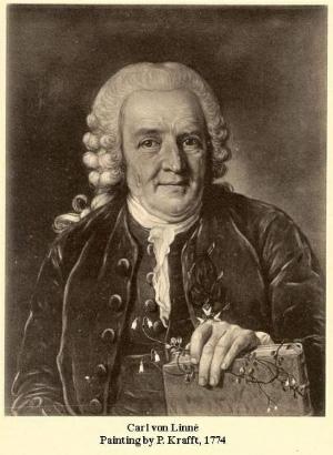 Карл Линней (1707–1778). Великого шведа часто изображают с цветочком линнеи северной, названной в его честь