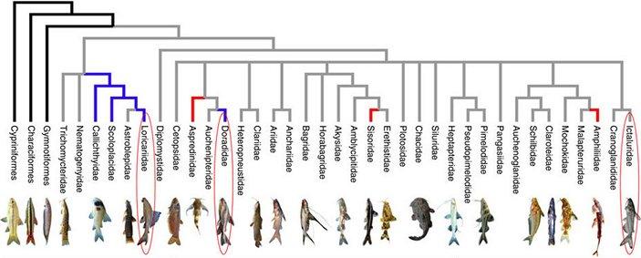 Филогенетические отношения семейств костистых рыб