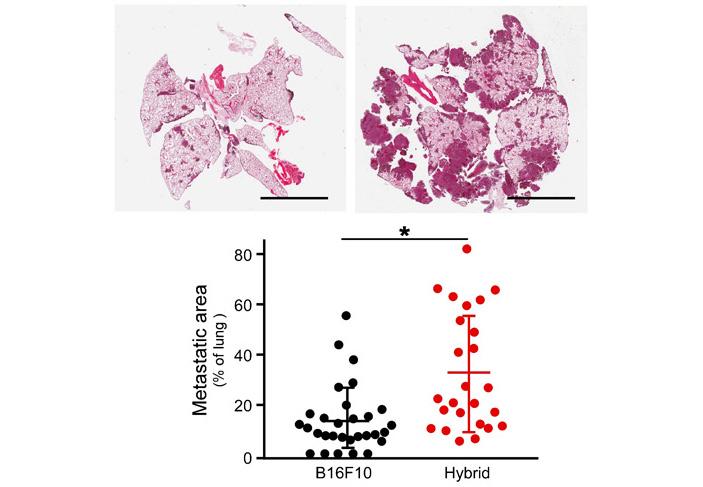 Рис. 4. Метастазирование обычных раковых клеток и клеток-гибридов