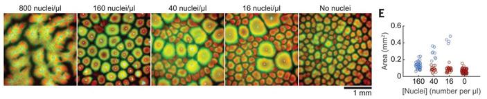 Рис. 4. Структурирование цитоплазмы зависит от количества добавленных ядер