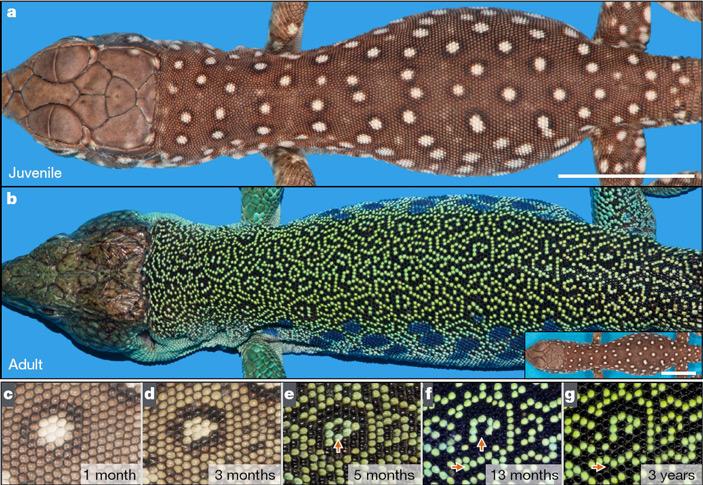 Изменение рисунка окраски кожи углазчатой ящерицы <i>Timon lepidus</i> впроцессе взросления