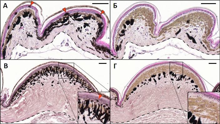 Рис. 2. Строение чешуек кожи новорожденных и взрослых глазчатых ящериц