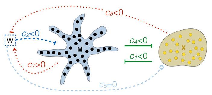 Рис. 4. Взаимодействия между меланофорами и ксантофорами