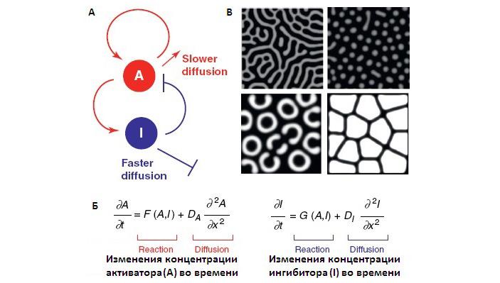 Рис. 5. Реакционно-диффузная модель Тьюринга