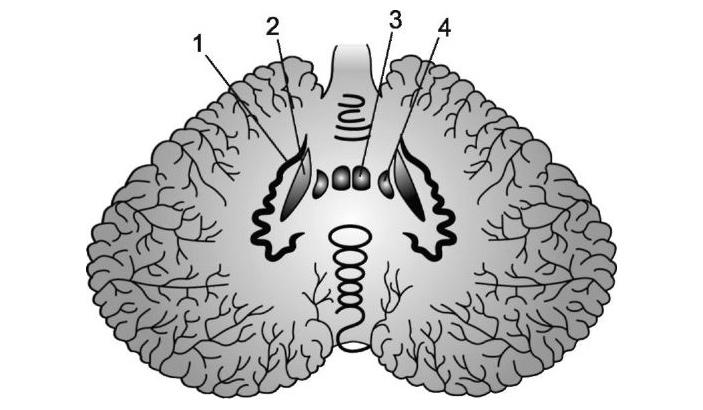 В ходе эволюции мозжечок развивался путем удвоения базовых модулей