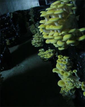 champignon_cave_300.jpg