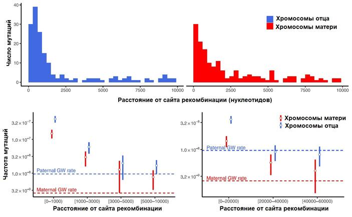 Рис. 3. Распределение возникающих de novo мутаций относительно сайтов рекомбинации