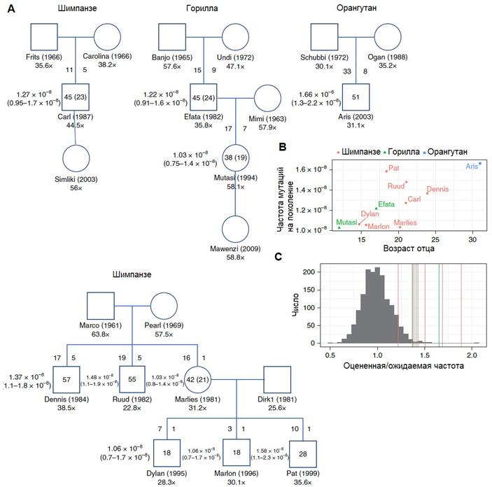 Рис. 4. Родословные животных, которые использовались для анализа частот мутаций