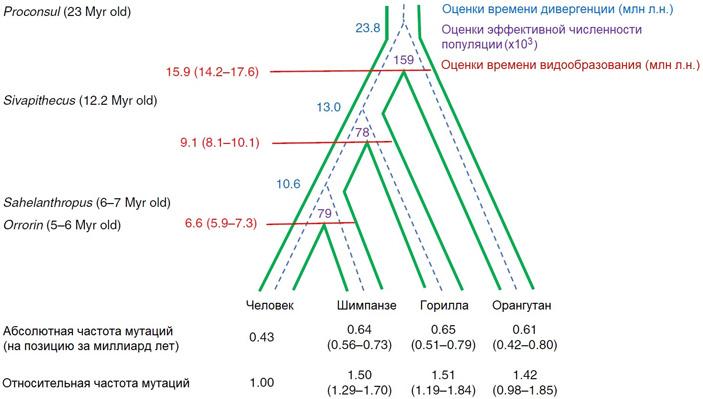 Рис. 5. Филогенетическое дерево человека и человекообразных обезьян