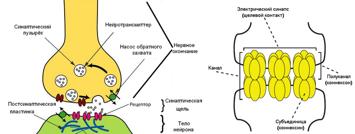 <b>Рис.2.</b> Схема электрического и химического синапсов