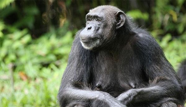 У шимпанзе, как и у других приматов (кроме человека), поразмеру молочных желез можно понять, способна ли самка к зачатию. Фото с сайта www.wired.com