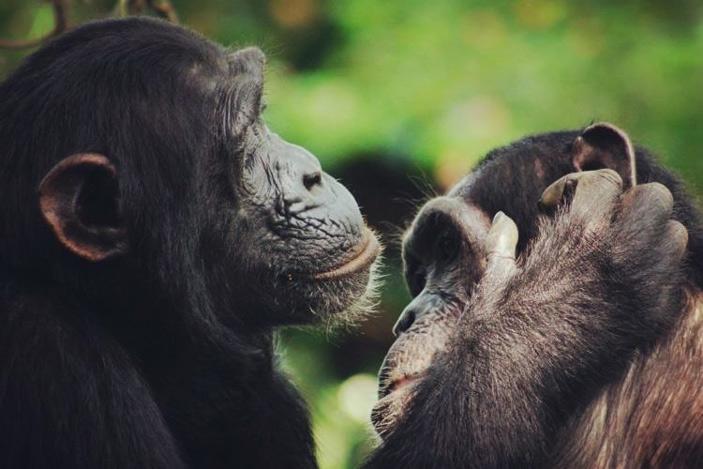 Шимпанзе чмокают губами вритме, характерном для человеческой речи