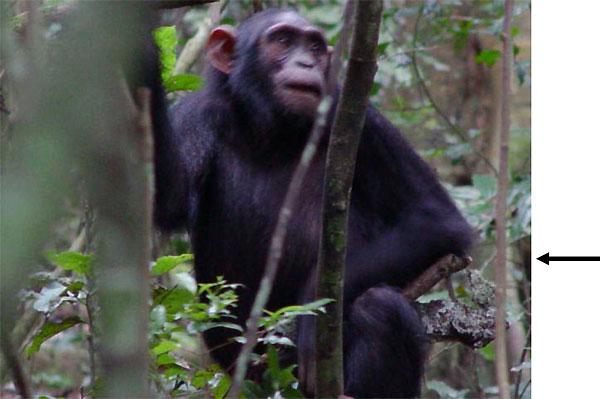 Молодая самка шимпанзе с палочкой-куклой. Фото из дополнительных материалов к обсуждаемой статье в Current Biology