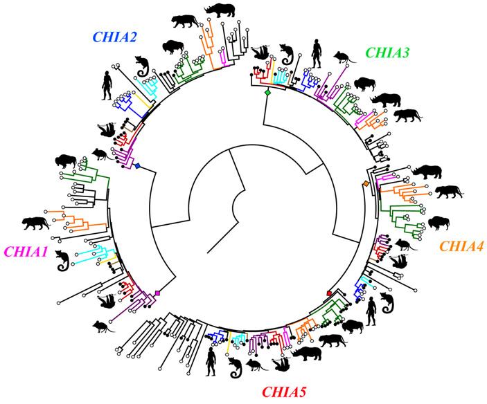 Филогенетическое дерево вариантов гена кислой хитиназы млекопитающих