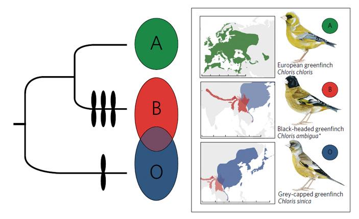 Рис. 1. Фиксация крупных хромосомных инверсий узеленушек
