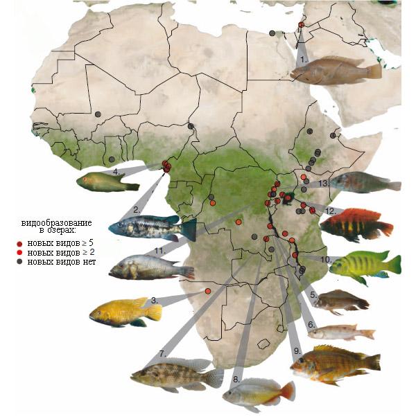 Темпы видообразования цихлид в 46африканских озерах