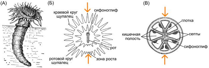 Рис. 2. Симметрия коралловых полипов