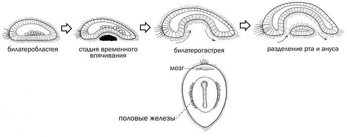 Рис. 3. Теория билатерогастреи