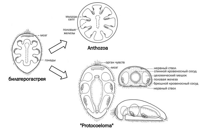 Рис. 4. Гипотетическая билатерогастрея и ее потомки