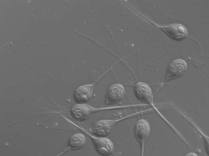 Обнаружено первое животное без митохондриального генома
