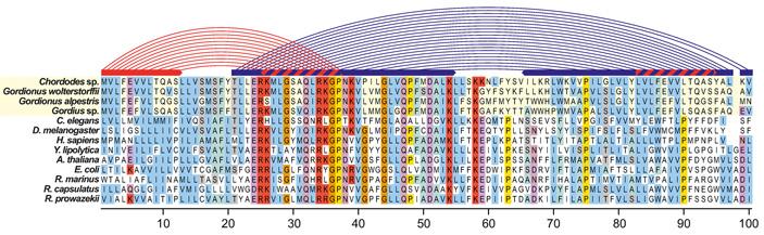 Рис. 3. Выравнивание аминокислотной последовательности белка nad1 для четырех видов волосатиков