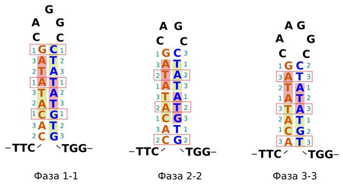 Рис. 4. Три возможные фазы обратного повтора белок-кодирующей последовательности, сформировавшего шпильку