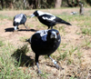 http://elementy.ru/images/news/cognitive_performance_is_linked_to_group_size_in_australian_magpies_fig1_100.jpg