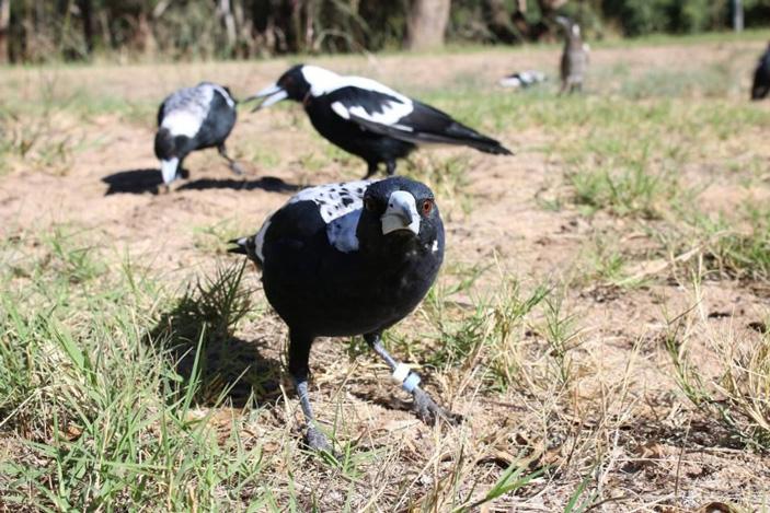 Рис. 1. Австралийские вороны-свистуны (они же черноспинные певчие вороны) живут группами разного размера, что делает их удобным объектом для изучения связи между социальностью и интеллектом