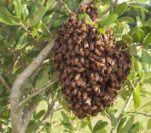 Пчелиный рой ожидает, пока разведчики выберут место для поселения