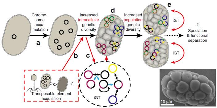 Рис. 2. Предполагаемые механизмы создания высокого внутриклеточного и межклеточного (популяционного) генетического разнообразия у A. oxaliferum