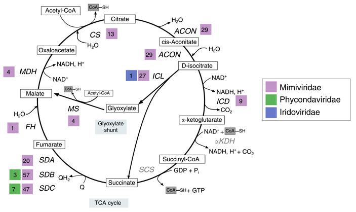 Угигантских вирусов есть ферменты цикла Кребса
