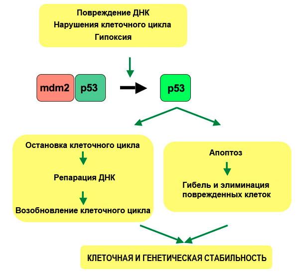 Рис. 2. Сигнальный путь р53