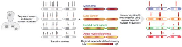 Рис. 3. Различные участки генома мутируют сразличной частотой при различных формах рака