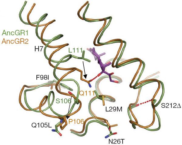 Упрощенная схема строения активного центра глюкокортикоидного рецептора до и после смены функции. «Исходный» вариант белка (AncGR1) показан зеленым цветом, «производный» вариант (AncGR2)— оранжевым. Сиреневым цветом показана молекула кортизола. Две ключевые мутации, приведшие к смене функции белка, показаны черными стрелками. Замена серина(S) пролином(P) в позиции106 привела к изменению конфигурации спиралиH7. Врезультате позиция111 оказалась рядом с уникальной для кортизола гидроксильной группой. Замена лейцина(L) глутамином(Q) вэтой позиции обеспечила образование водородной связи с этой гидроксильной группой (красный пунктир). Врезультате активный центр белковой молекулы приобрел повышенное сродство к кортизолу (тоесть стал удерживать кортизол лучше, чем другие стероидные гормоны). Пять дополнительных аминокислотных замен (F98I, Q105L и т.д.) ослабили сродство ГР к другим стероидам. Рис. из обсуждаемой статьи в Nature