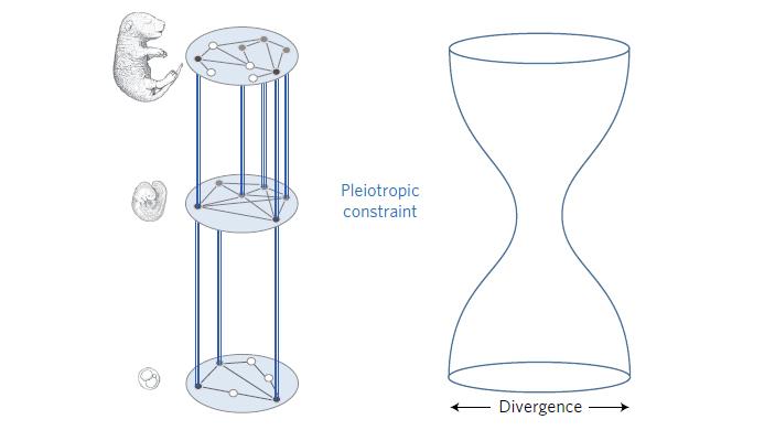 Рис. 5. Предполагаемая связь между плейотропией генов, работающих на средних стадиях эмбриогенеза, и «песочными часами развития»