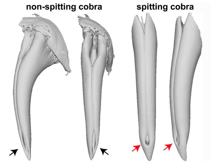 Как разные кобры научились плеваться ядом