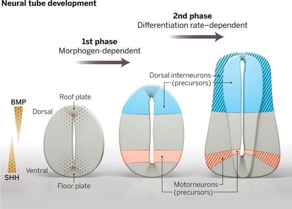 Рис. 1. Двухфазная регуляция дорзо-вентральной разметки нервной трубки
