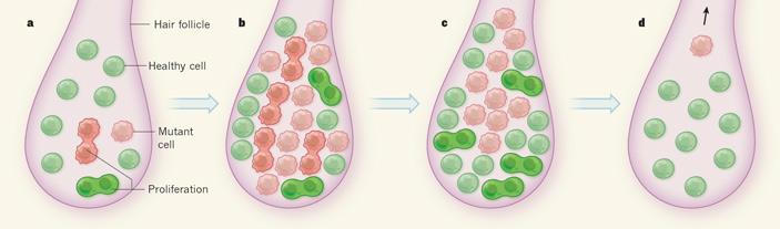 Динамика роста мутантных клеток вволосяном фолликуле