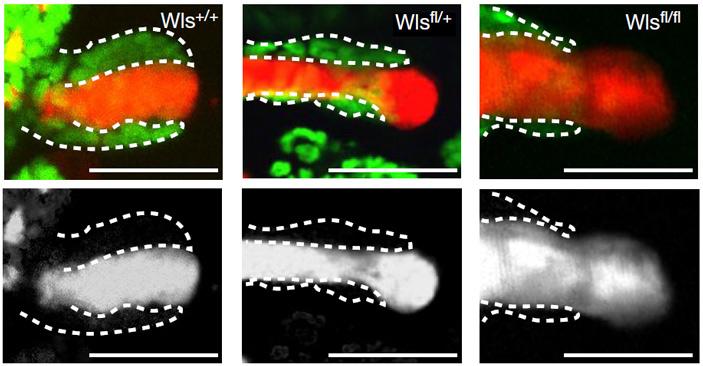 Рис. 4. Для коррекции ткани волосяных фолликулов требуется активный сигнальный путь Wnt