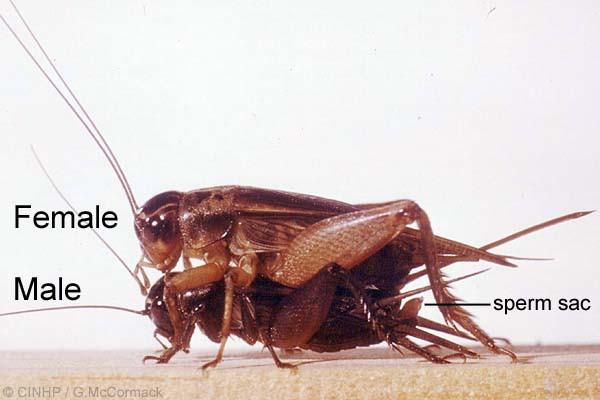 spermatofor-u-skorpionov-foto
