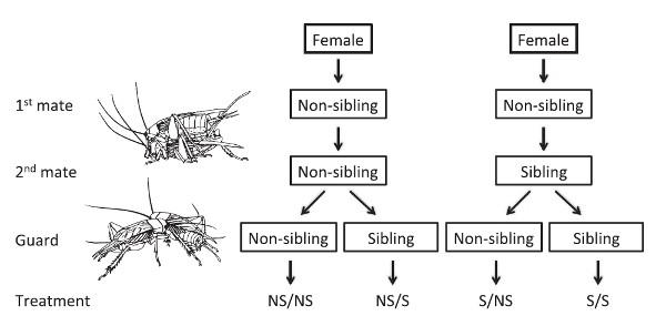 Рис.1. Схема эксперимента. Все самки копулировали снеродственными самцами (non-sibling) при первой копуляции; вполовине случаев с братьями (sibling), а вполовине случаев— снеродственными самцами при второй копуляции