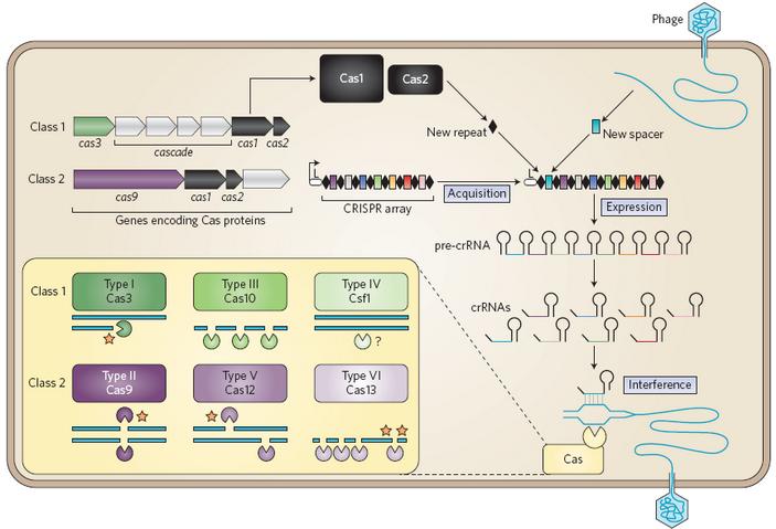 <b>Рис.3.</b> Схема работы CRISPR-систем и их классификация