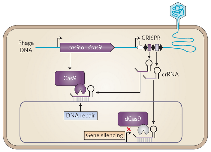<b>Рис.7.</b> «Редактирование», а также ингибирование транскрипции вклетках бактерий