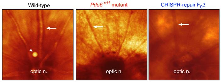<b>Рис.9.</b> Вид глазного днасо зрительным нервом уздоровых крыс, умутантов<i>Pde6b(rd1)</i> и увылеченных спомощью crРНК-Cas9 комплекса