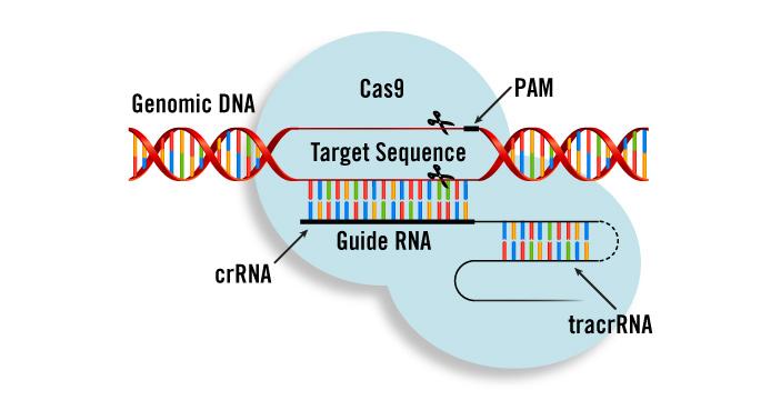 Компоненты CRISPR/Cas9 для лечения рака доставили вопухоль спомощью липидных наночастиц