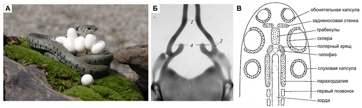 Изменчивость змеиного черепа документирует его эволюционные перестройки
